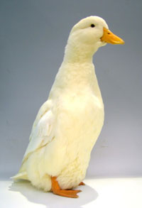 Best-heavy-and-Champion-Waterfowl.Pekin-female-Julie-Christ.jpg