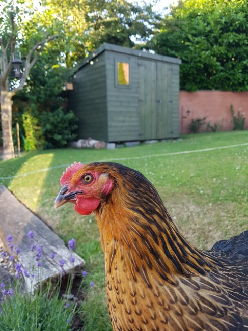 Hens and shed - Edited.jpg