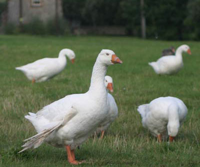 Angel-Wing-Goose-in-Flock2.jpg